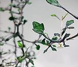 마오리코로키아(별잎모양의 잎이 독특해요~) 랜덤발송|