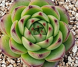 문스톤 8401-1079|Pachyphytum Oviferum Moon Stone