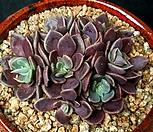 60.인디카|Sinocrassula indica