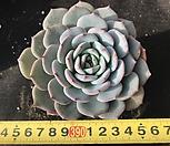 라우이아우렌시스 교배 랜덤|Echeveria Laulensis