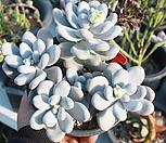 문스톤6|Pachyphytum Oviferum Moon Stone
