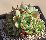 에케문스톤 0145|Pachyphytum Oviferum Moon Stone