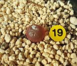 부르게리 11-19|Conophytum burgeri