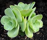 기간티아0111|Greenovia diplocycla var.gigantea
