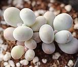문스톤 자연군생 1-3813|Pachyphytum Oviferum Moon Stone