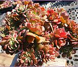 브라이언로즈철화0112 Echeveria Briar Rose