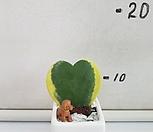 무늬하트호야-완성품 Hoya carnosa