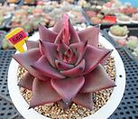 레드에보니1-688|Echeveria agavoides ebony red