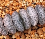 옥선흑룡|Haworthia truncata