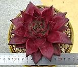 원종레드에보니|Echeveria agavoides ebony red