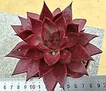 원종레드에보니1|Echeveria agavoides ebony red