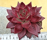 원종레드에보니2|Echeveria agavoides ebony red