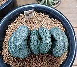 옥선 씨앗(황기) 5개|Haworthia truncata