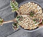 옥연|Sedum furfuraceum