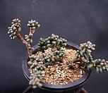 옥연8A15-1|Sedum furfuraceum