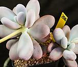 문스톤 206 자연군생한몸|Pachyphytum Oviferum Moon Stone
