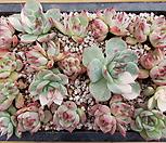 치와와금 모듬 Eeveria chihuahuaensis