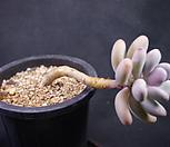 아메치스A16-5|Graptopetalum amethystinum