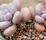 목대 아메치스자연쌍두44|Graptopetalum amethystinum