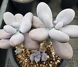 문스톤0116|Pachyphytum Oviferum Moon Stone