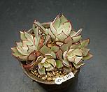 스트릭트플로라-4두(1.16)|Echeveria strictiflora v nova