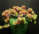 리틀쨈금(1.16)|X Cremnosedum Little Gem (Crassulaceae)