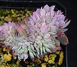 블랫블루아나철화 535|Echeveria bradburiana
