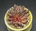 웅구아쿨라타철화(1.16)|Echeveria unguiculata