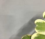 하트무늬호야/하트호야/무늬호야/공룡꽃식물원/넝쿨식물|Hoya carnosa