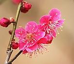 홍매화(비매-5)-동일품배송|Echeveria Multicalulis  Ginmei Tennyo