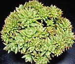 샤치철화23|Echeveria agavoides f.cristata Echeveria