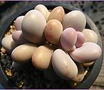 아메치스0117-1|Graptopetalum amethystinum
