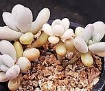 아메치스117-7|Graptopetalum amethystinum