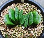 그린옥선-5-22|Haworthia truncata