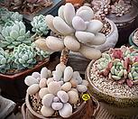 아메치스자연군생목대 3959|Graptopetalum amethystinum