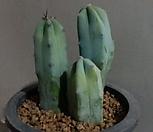 용신목선인장 3쌍 24번|Myrtillocactus geometrizans Cons