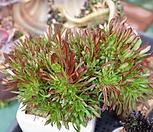 세엽흑법사철화|Aeonium arboreum var. atropurpureum