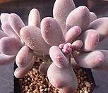 홍미인자연군생|Pachyphytum ovefeum cv. momobijin