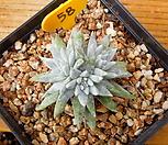화이트그리니 (6두분지중)|Dudleya White gnoma(White greenii / White sprite)