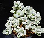 방울복랑금무지묵은둥이23|Cotyledon orbiculata cv variegated