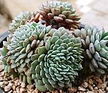 턱시판철화 자연군생01181|Echeveria tuxpan