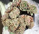 라밀라떼철화_0|Echeveria Lamillette  f cristata