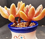 군작자연군생118-7|Pachyphytum hookeri