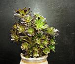 흑법사(1.19) Aeonium arboreum var. atropurpureum