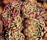 일본원종사라히메555 Echeveria Sarahime