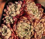 일본원종사라히메362 Echeveria Sarahime