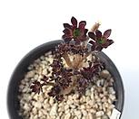 흑법사철화569 Aeonium arboreum var. atropurpureum