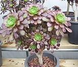 묵은 흑법사(컷팅군생)-914 Aeonium arboreum var. atropurpureum