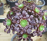 묵은 흑법사(컷팅군생)-227 Aeonium arboreum var. atropurpureum