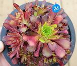 미니 흑법사 Aeonium arboreum var. atropurpureum